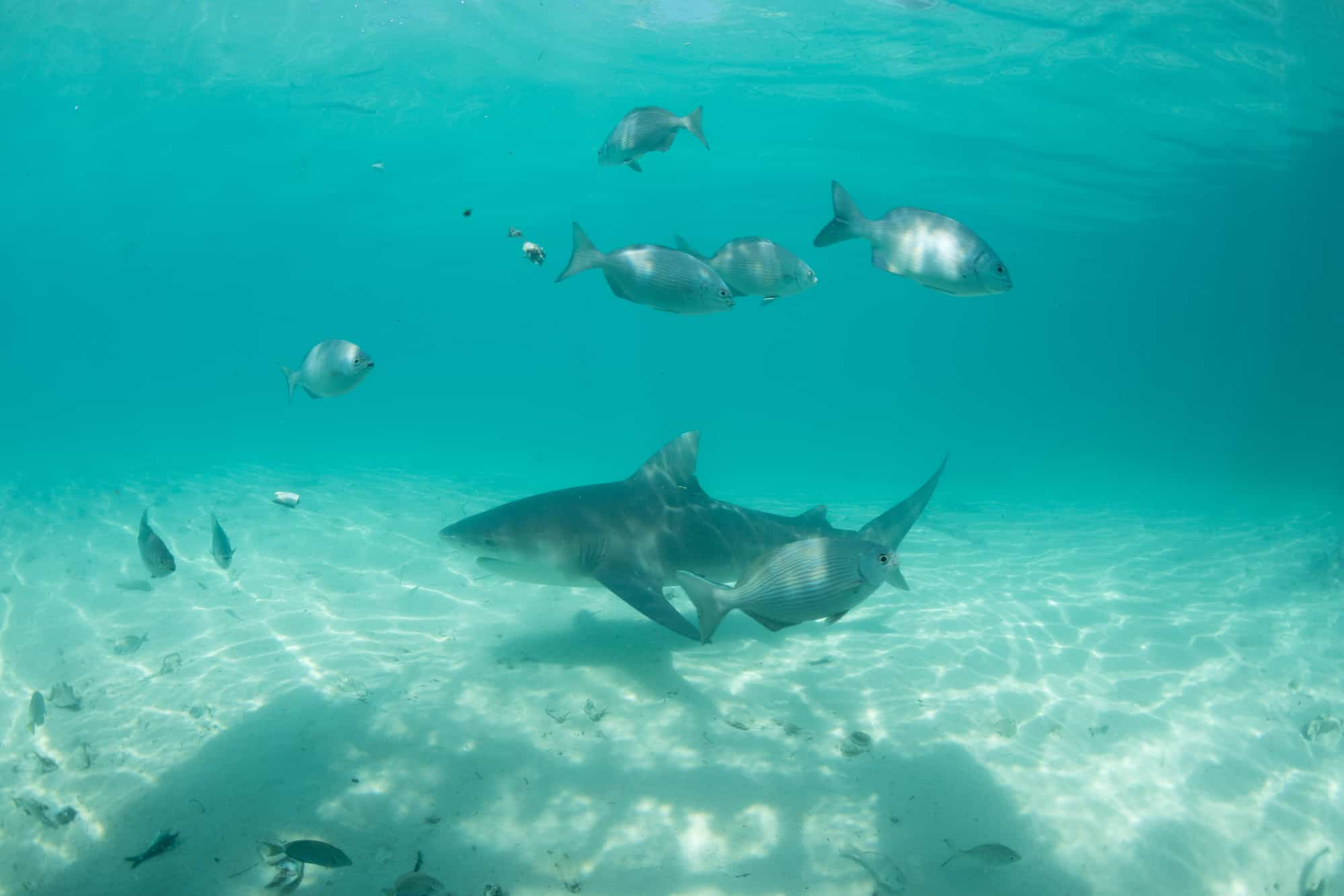 Being in the water with sharks petrifies me. But the shark lab at Bimini was the place I faced the fear and overcame it.
