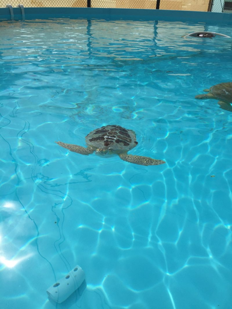 a green turtle undergoing rehab at the turtle hospital in marathon