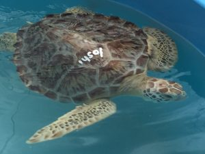 Loggerhead turtles are prevalent in South Florida. They get their name from their huge heads and powerful jaws, designed to make quick work of breaking the shells on mollusks, crabs and other tasty crustaceans that make up their diet.
