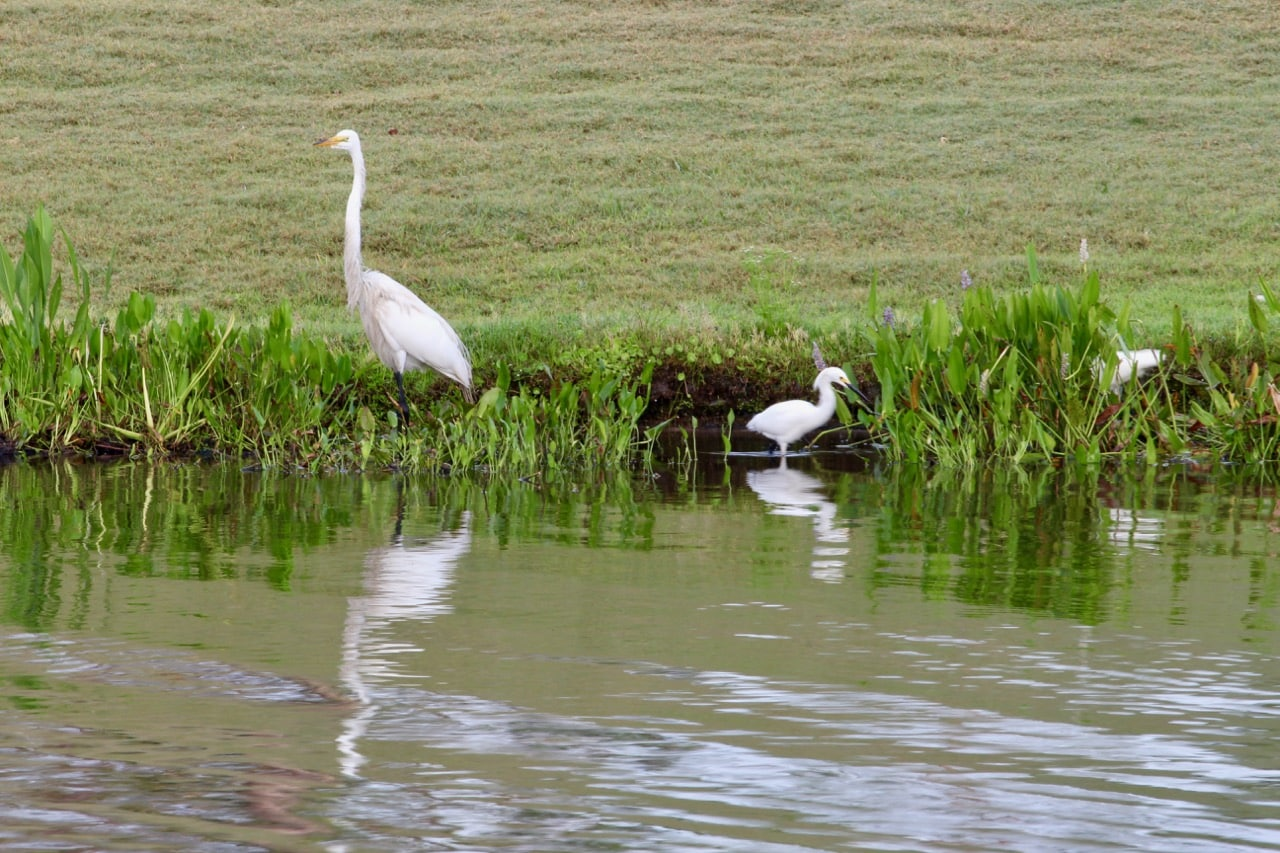 The view from Norman's at the Ritz Carlton Grande Lakes include expansive wildlife views like Egrets