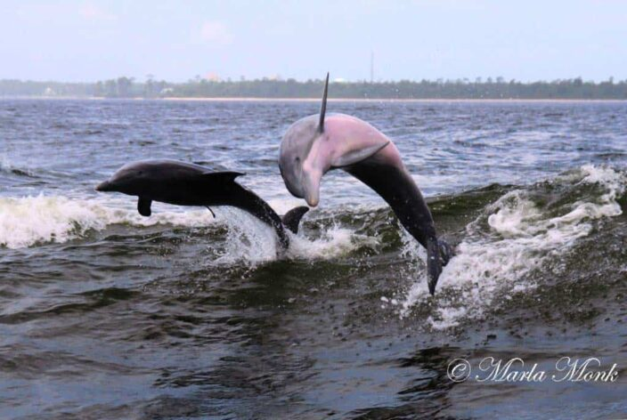 All Aboard for Dolphin Boat Tours in Orange Beach AL!
