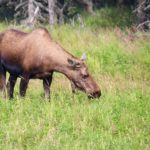 Moose on the Kenai Peninsula