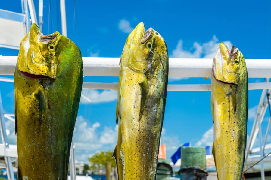 Freshly caught Atlantic dolphin fish at a marina in the Florida Keys.