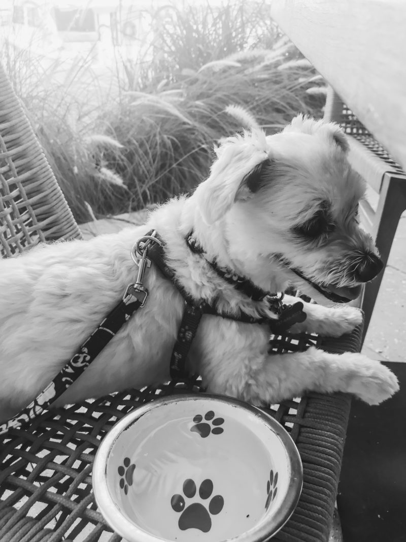 black and white photo. white dog sitting in chair with water bowl and sunlight behind him