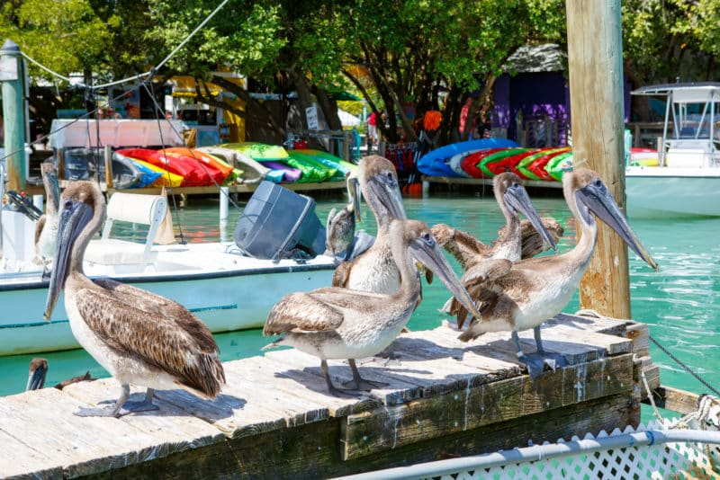 brown pelicans on pier with boats in background