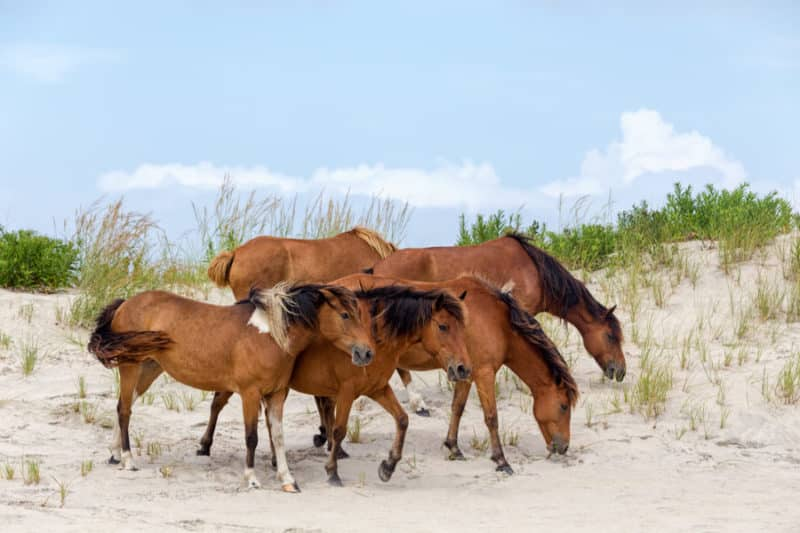 4 brown wild ponies on a beach with sea glass in Chincoteague