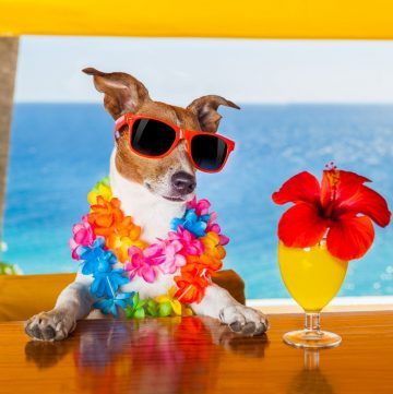 dog wearing a colorful lei with a goombay smash cocktail on wood table with ocean in background