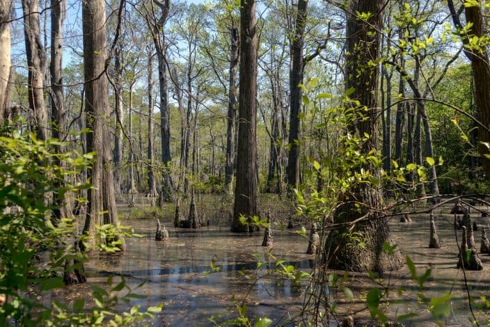 bald cypress trees in a swamp and blue skies