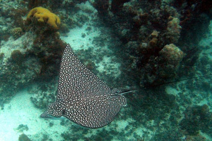 Spotted Eagle rays are a common sight as they gracefully soar through the air. Take a boat trip on your romantic turks and Caicos vacation and see these and much more sealife.