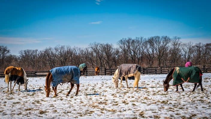 horses in a field in winter that you can see at a winery in Virginia
