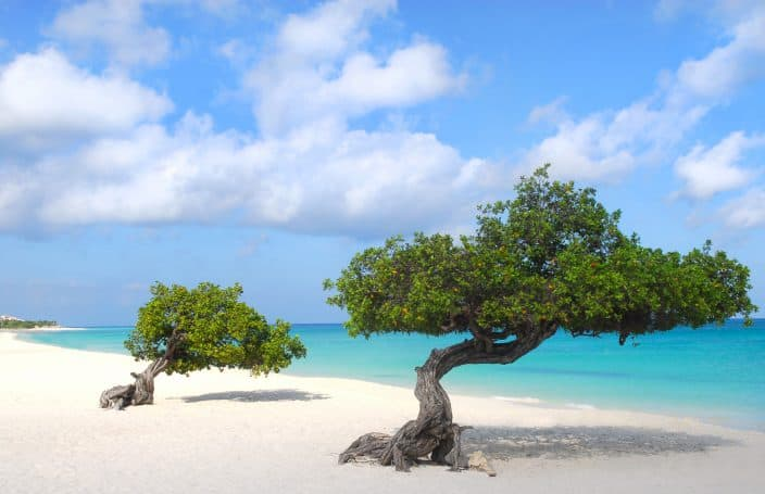 Two Fofoti trees on the shoreline of Eagle Beach, a beach in Aruba.