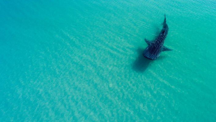 a speckled shark swimming in the water at La Paz beach, Mexico.