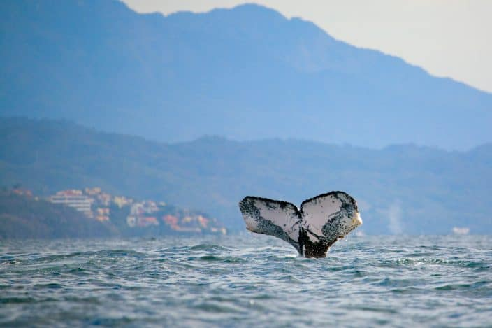 Whale watching in the Banderas Bay near Puerto Vallarta, a Mexico beach vacation