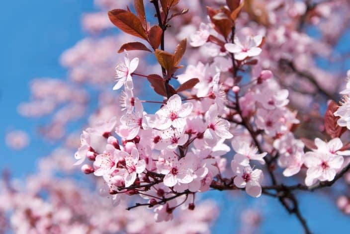 the cherry blossoms in DC, an idea of what to visit for you romantic spring getaway