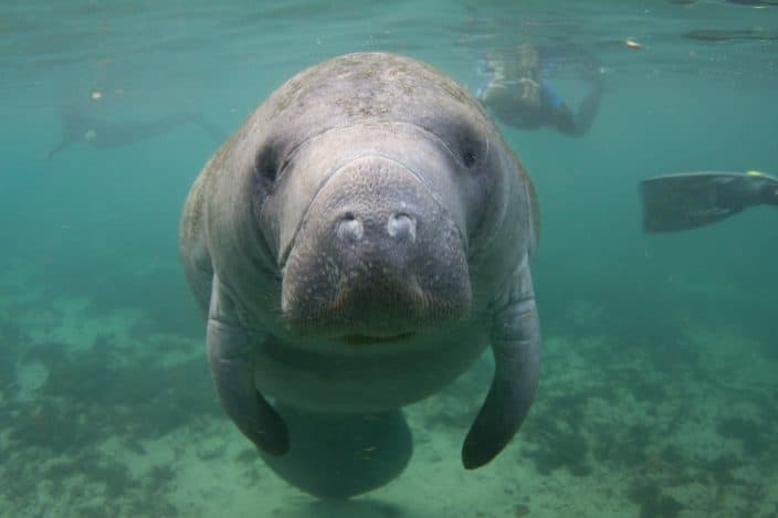 Florida manatees in Crystal River, a great day trip from Orlando