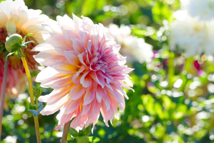 White-pink chrysanthemum close up on a background of flower beds which you can find in Alabama during your fall travels