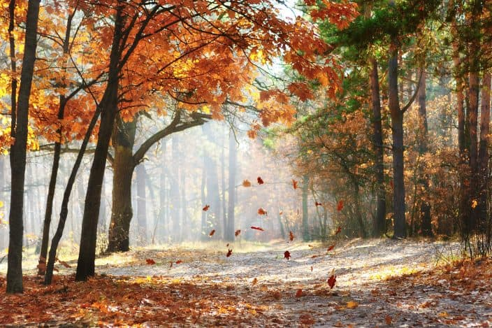 Falling orange, yellow, and red oak leaves on the scenic forest illuminated by morning sun in the fall