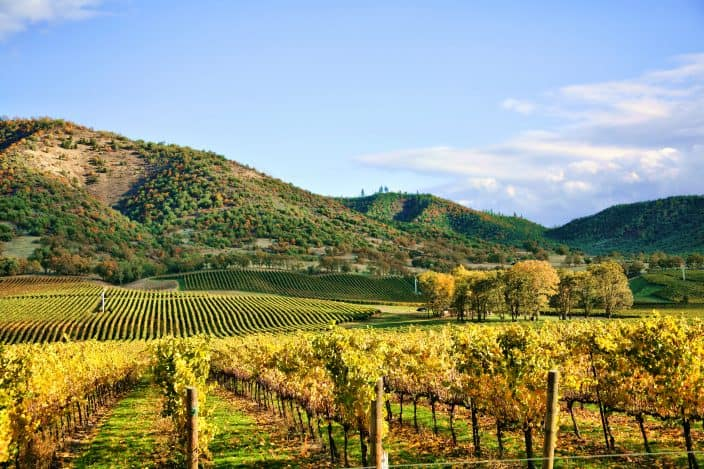 an autumn vineyard in Virginia, with rows of golden grapevines, hills in the background with orange and green foliage on them with blue skies