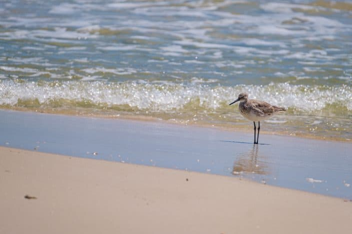 a little grey bird on the shore of the beach by the water in Gulf Shores, Alabama, a romantic weekend getaway destination