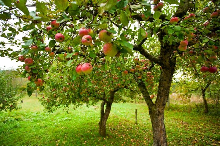 an apple orchard with red apples hanging on the trees with bright green grass and some orange and brown leaves on the ground in the fall