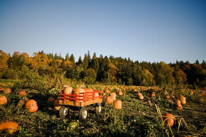 A shot of a wheeled wagon carrying pumpkins during harvest time in a pumpkin patch filled with pumpkins with bright blue skies