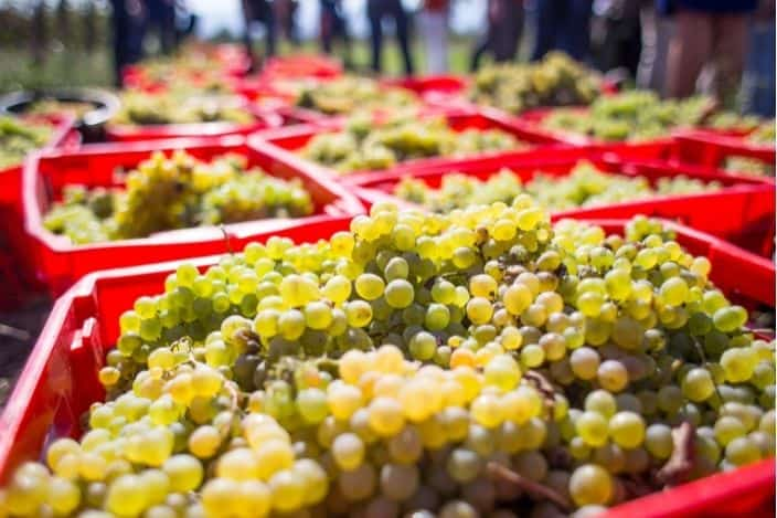 a close up of white grapes harvested in red containers to make wine, an example of what you can see at wineries in georgia